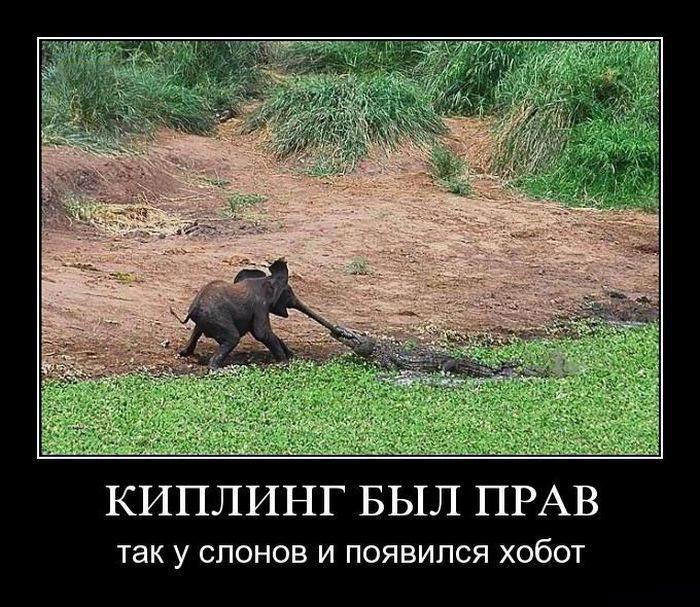 Киплинг был прав, так у слонов и появился хобот